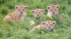 As green as grass: The four panthera leo persica cubs at Fota Wildlife Park, which is calling for help in naming them