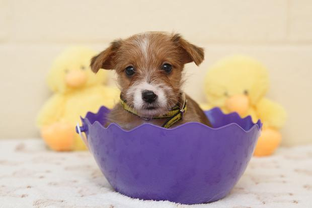 Eight-week-old puppy Spike. Photo: Fran Veale