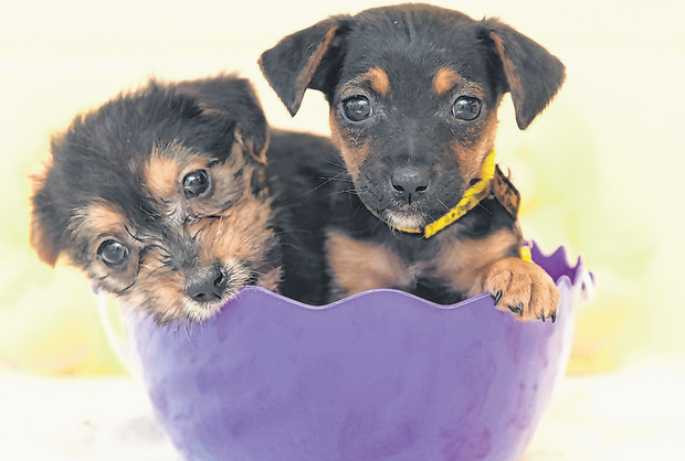 Puppies Sasha and Sunflower, helping remind people this Easter that chocolate is highly toxic to dogs. Photo: Fran Veale