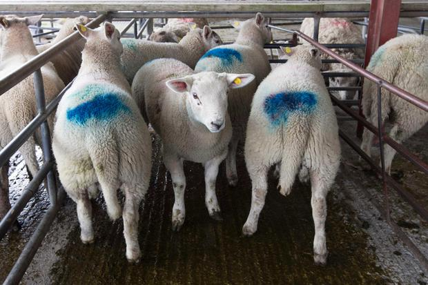 11/4/2019 Loughrea Sheep Mart Lot Number 199 Weight 47.8Kg Type Spring Lamb Amount 5 Price €135 Photo Brian Farrell