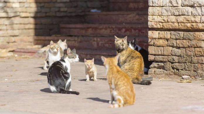 Australia plans to kill millions of feral cats by airdropping