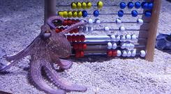 Back to school: Sea Life Bray's baby octopus gets in some maths practice