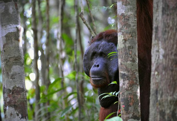 Under threat: The Bornean Orangutan is among the most critically endangered animals in the world