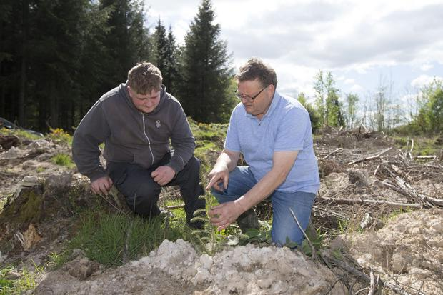 Pat Hennessy and his grandson Peter Hennessy checking reforested Sitka Spruce for pine weevil at Ballaghmore, Co. Laois. Picture: Alf Harvey.