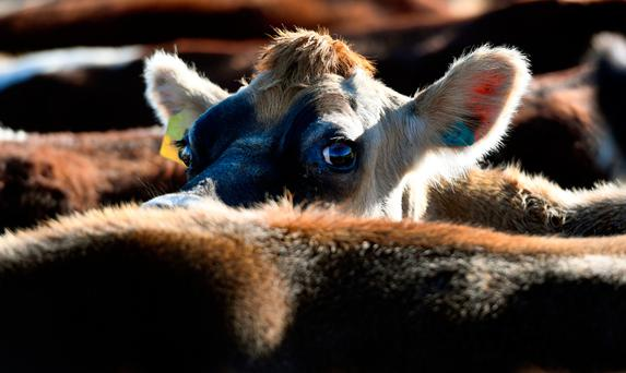 Cows on a dairy farm in New Zealand — the huge increase in dairy production in that country has exacted a heavy environmental toll. Can Ireland tread a different path as it ramps up milk production? Picture: William West/AFP/Getty Images