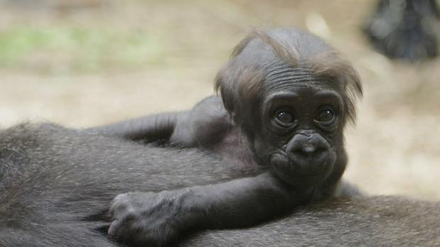 The baby gorilla born recently at Dublin Zoo is female