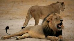 Cecil the lion. Photo: AFP PHOTO / ZIMBABWE NATIONAL PARKS