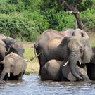 Elephants drink water in the Chobe National Park in Botswana (Charmaine Noronha/AP)