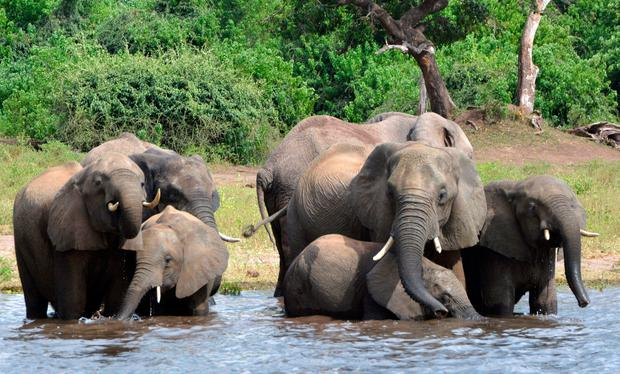 On the brink: Majestic elephants face a fight to exist. Picture: AP