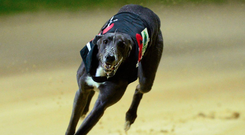 It's a busy weekend for greyhound sport, with the semis of the Sporting Press Irish Oaks the highlight on this side of the pond. Stock image