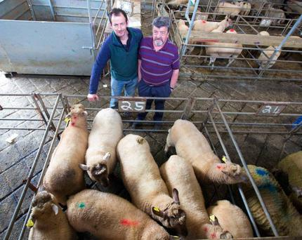 Tommy Kielty ( left) from Culfadda, Co. Sligo pictured with his neighbour Joe Hannon. Tommy was disappointed with the price for his heavier sheep, lot 25; 9 lambs, 53kg average weight, fetched 115 each. Photo Brian Farrell