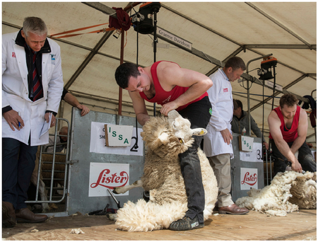 Graeme Davidson in action during the All Ireland Sheep Shearing finals in Cashel, Co Tipperary where the reigning champion, Ivan Scott from Donegal, claimed another national title.Photo John Kelly.