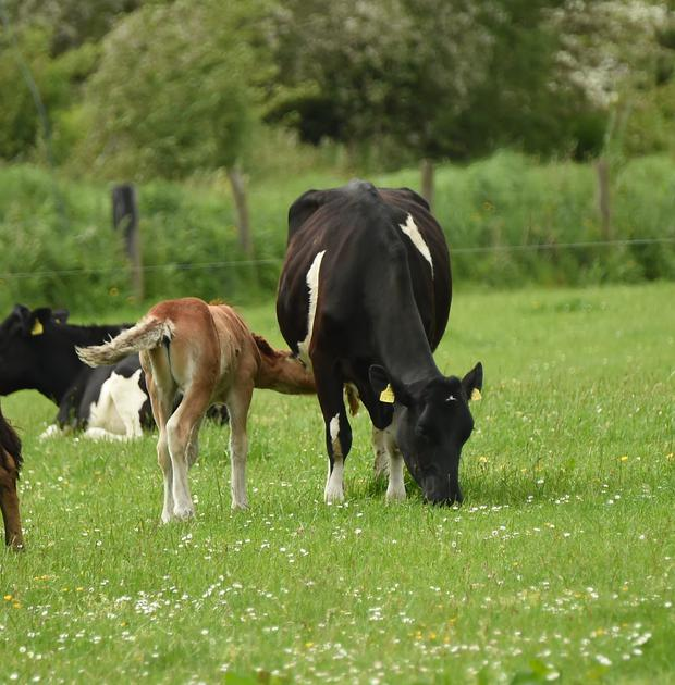 cow and foal one.jpg