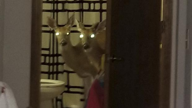 Two deer peering from the bathroom of an apartment (Sgt Kevin Gerber/Decatur Police Department/AP)