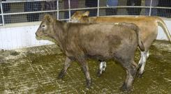 Cork sale: This pair of 285kg Charolais cross heifers born on 14/11/2018 were sold for sold for €610 each at Skibbereen Mart on Friday. Picture Denis Boyle