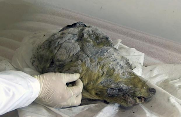 Experts believe the wolf roamed the earth about 40,000 years ago, but thanks to Siberia's frozen permafrost its brain, fur, tissues and even its tongue have been perfectly preserved (Valery Plotnikov/Mammoth Fauna Study Department at the Academy of Sciences of Yakutia via AP)