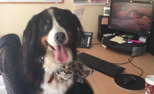 Gucci the bermese mountain dog is a new colleague for staff at the LauraLynn children's hospice today.