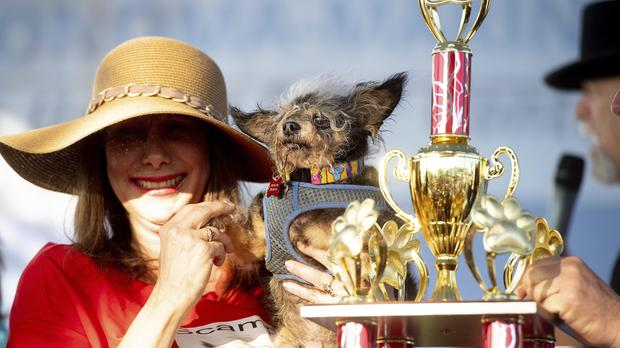 Scamp the Tramp after winning the World's Ugliest Dog Contest (Noah Berger/AP)