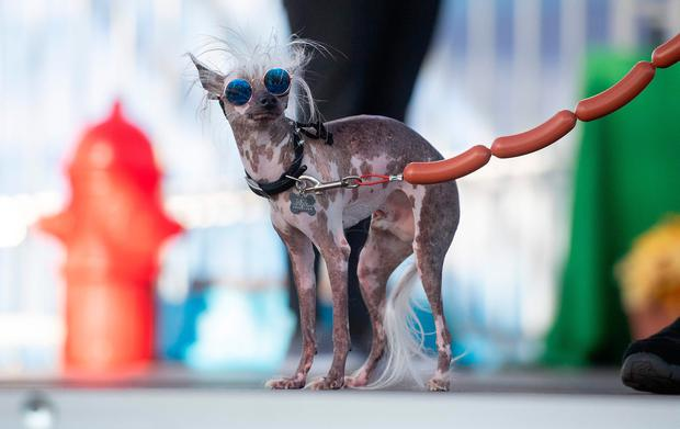 Rascal Deux, a naturally hairless mix with a crooked face, two different colored eyes and a loose tongue, walks the stage during the World's Ugliest Dog Competition in Petaluma, California on June 21, 2019. (Photo by JOSH EDELSON / AFP)JOSH EDELSON/AFP/Getty Images