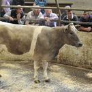 This 40 month old Charolais cross heifer, weighing 625Kg, sold for €1150 at Carlow Mart. Photo Roger Jones.