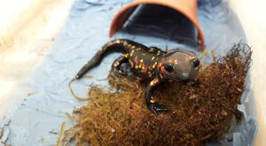 One of the eight fire salamanders intercepted by Custom Officers in Dublin. Photo: ISPCA