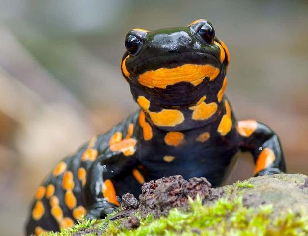 Fire salamander: intercepted