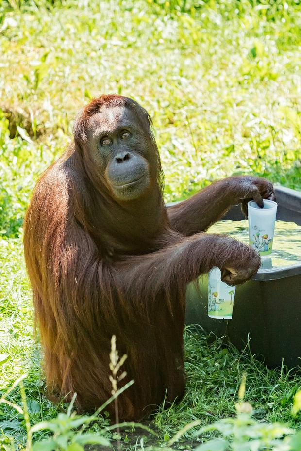 Boiling: An orangutan gets a drink of water in Vienna yesterday