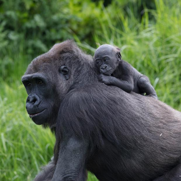 The new baby gorilla born in Dublin Zoo has been named as 'Asali'. Credit: Dublin Zoo