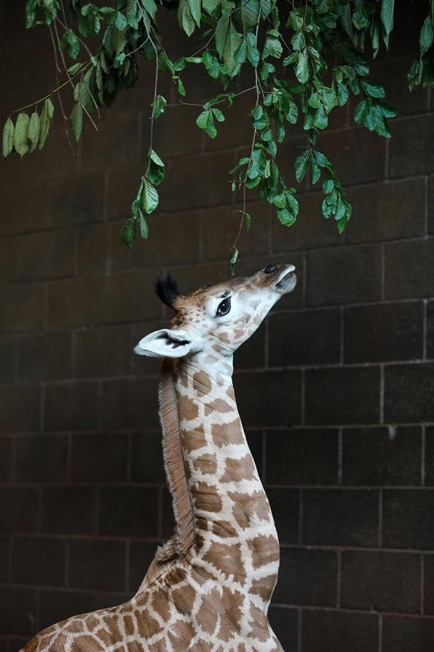 Belfast Zoo's new giraffe to be named after tragic Coleraine baby