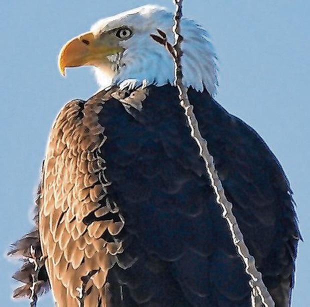 The bald eagle is the national bird of the United States. Photo: Mike Segar/Reuters