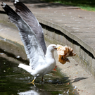 Aggressive: A Seagull investigates a discarded paper bag in Dublin's St Stephens Green. Photo: Frank Mc Grath