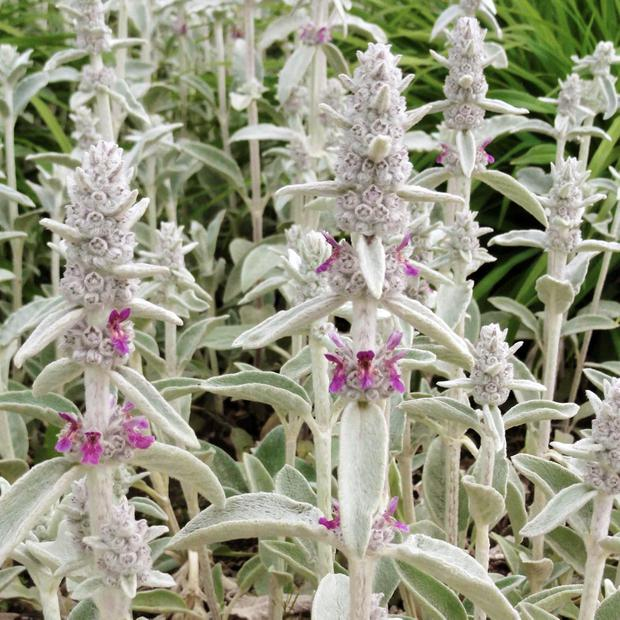 LAMB'S EAR: It softens the edges of borders and beds