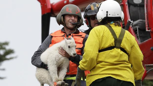 Goats are being airlifted to a new home (Elaine Thompson/AP)
