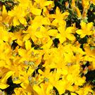 The bright yellow flowers will be an attractive addition to a garden, and some varieties can grow wild