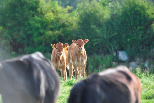 'The Irish dairy herd for all its expansion and success cannot be allowed to undermine the national suckler herd, which is currently dropping by 1,000 head per week'