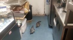 """Penguins make their way a sushi shop in Wellington, New Zealand . A pair of """"vagrant"""" blue (Shawnee Kim/AP)"""