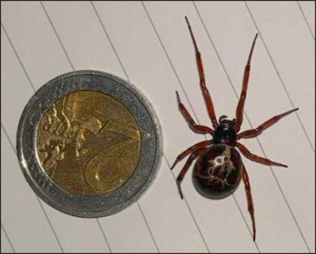 False Widow spider: What to do if you find one, how to get
