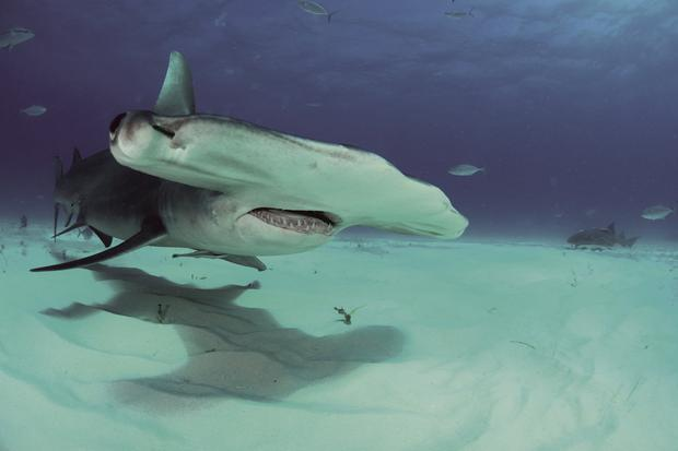 Encounter: Scientists say the shape of the dorsal fin was a giveaway that they had spotted a hammerhead shark