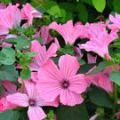 MALLOW: Lavatera grows rapidly and is tough and hardy