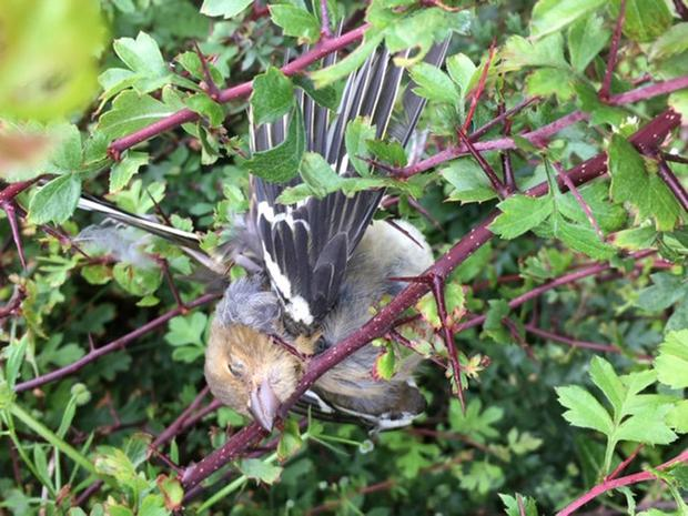 MYSTERY: Impaled bird in fuchsia thorns in Kerry from reader Paul Johnston