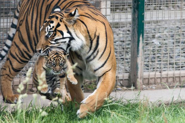Quite a mouthful: Dourga carries her yet-to-be named male cub at Fota Wildlife Park in Cork. The cub was born on June 25. Photo: Darragh Kane