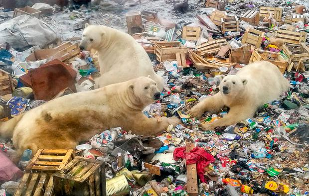 Sign of the times: Polar bears resort to raiding a rubbish dump for food in the far north of Russia. PHOTO: ALEXANDER GRIR