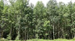 A maturing ash plantation in Co Laois: forestry agencies are encouraging farmers to grow more broadleaf and native woodland plantations. Photo: Alf Harvey