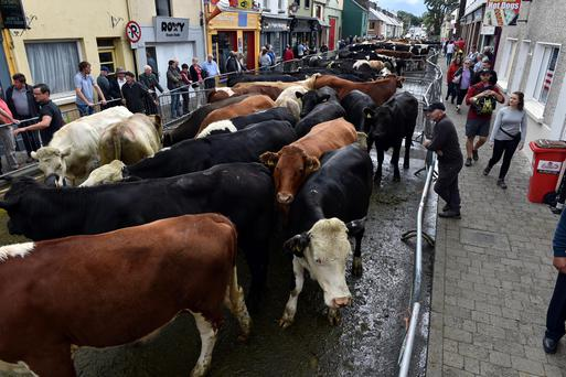 On the Moo-ve! A farmer tends to his cows during the cattle fair on Scattering Day during the Puck Fair Cattle Fair 2019 in Killorglin town in Co. Kerry on Monday. Pic: Don MacMonagle