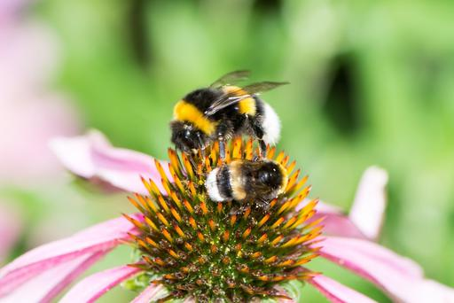 Nearly half of the bumblebee species in Ireland are at risk