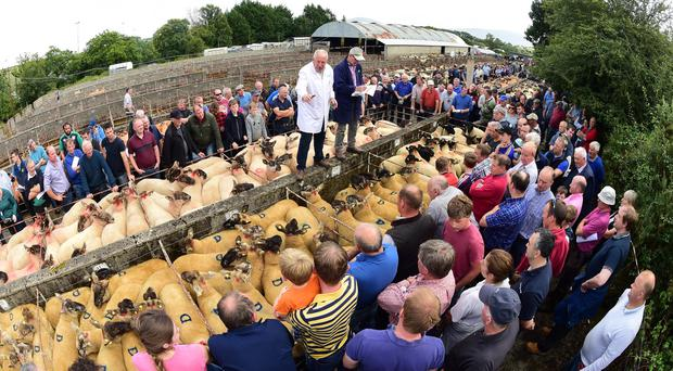 Auctioneer John Maher is in full swing at the Borris Sheep Show and Sale which took place on Saturday and saw 1621 sheep for sale. Photo: Roger Jones.