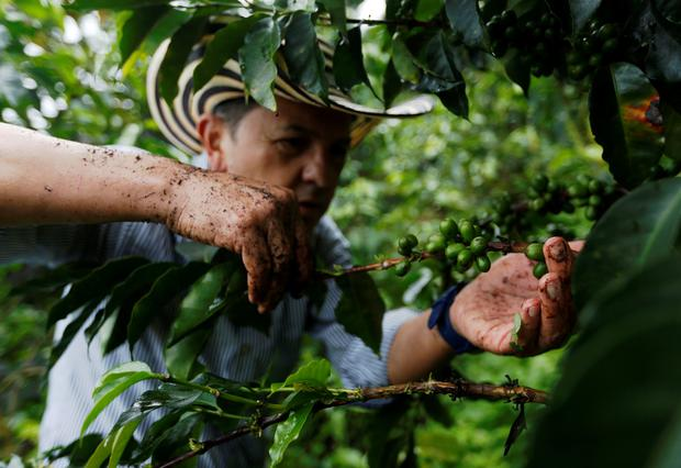 Colombian coffee grower Jose Eliecer Sierra picks coffee fruits at a plantation in Pueblorrico, Colombia March 11, 2019. Picture taken March 11, 2019. REUTERS/Luisa Gonzalez