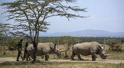 The two last surviving northern white rhinos (Ben Curtis/PA)
