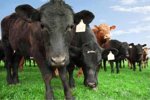 Controversial: The Climate Change Advisory Council recommends incentivising a reduction particularly in suckler cow numbers