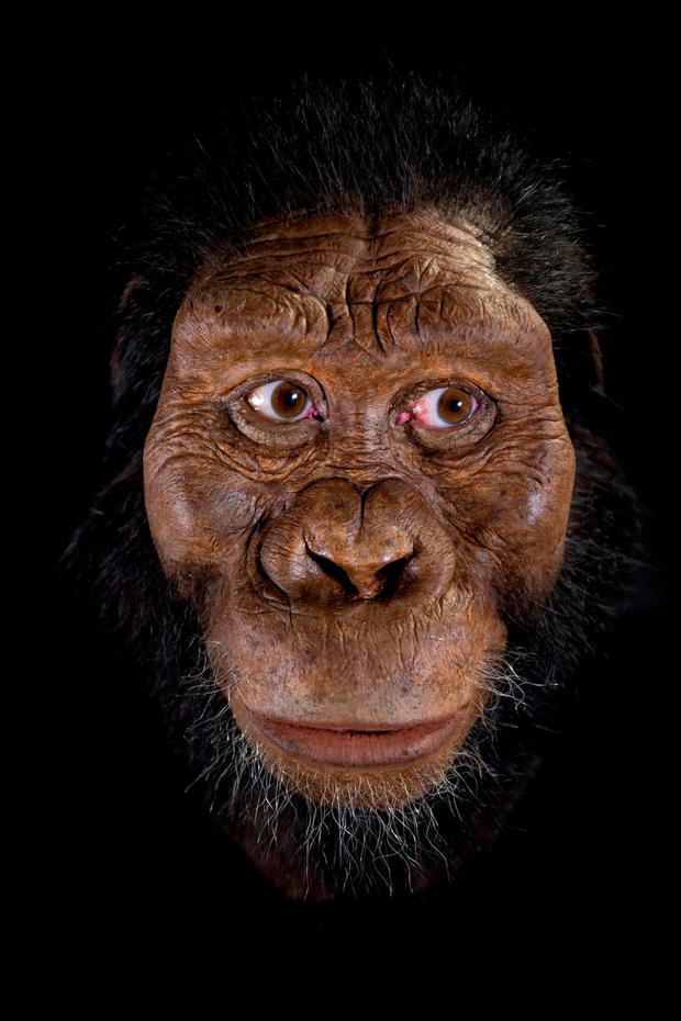 Ape man: An artist's reconstruction. Photo: John Gurche/Matt Crow/Cleveland Museum of Natural History/PA Wire